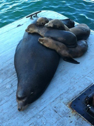 Sea Lion family off the Santa Cruz Pier